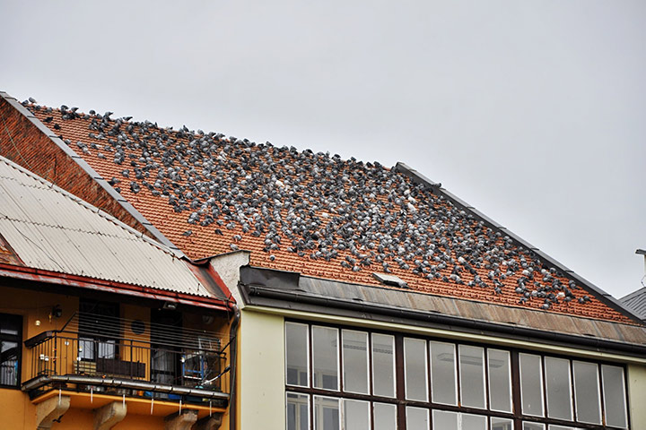 A2B Pest Control are able to install spikes to deter birds from roofs in Halstead.